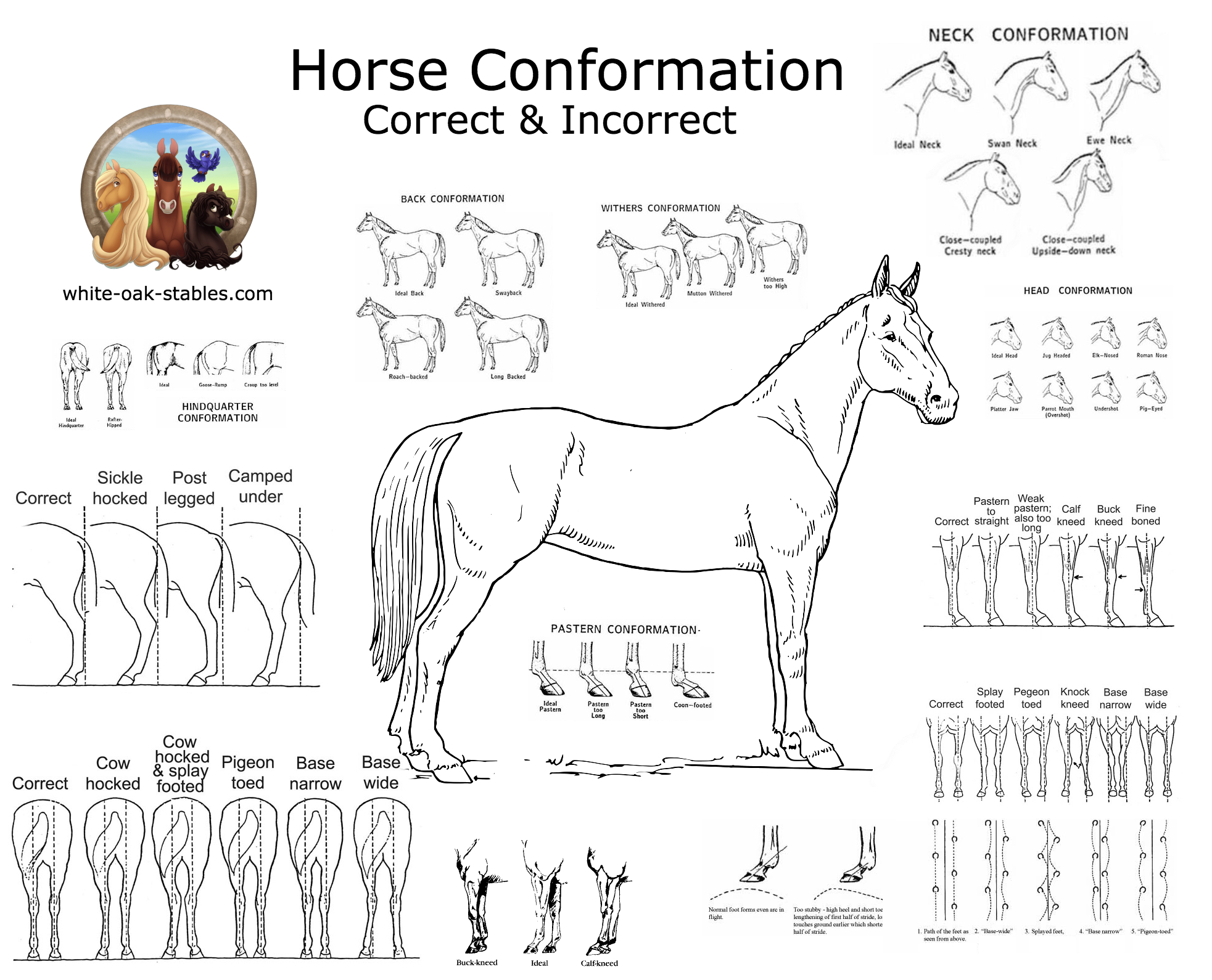 Visual: Horse Conformation
